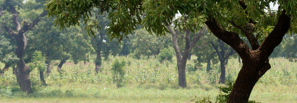 shea_trees